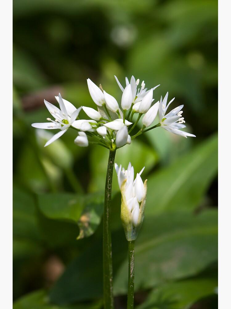 Ramson (Alium Ursinum) by SteveChilton