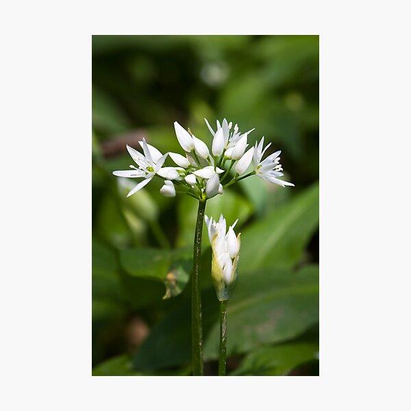 Ramson (Alium Ursinum) Photographic Print