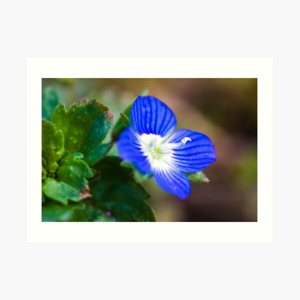 Common Field-speedwell (Veronica persica) Art Print