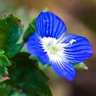 Common Field-speedwell (Veronica persica) by Steve Chilton
