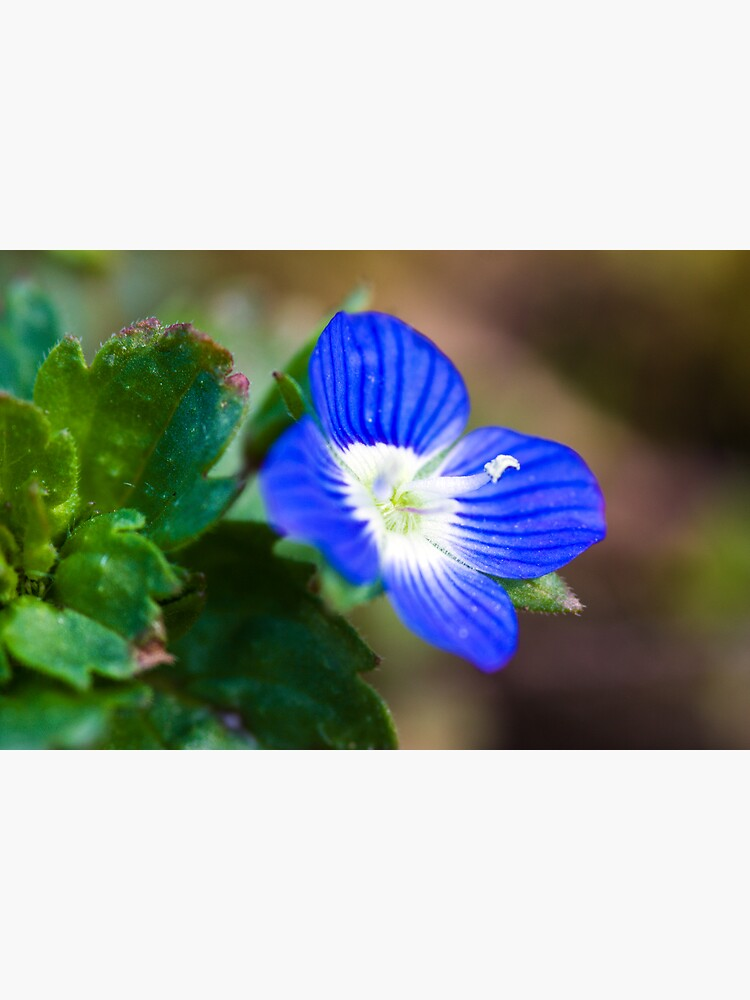 Common Field-speedwell (Veronica persica) by SteveChilton