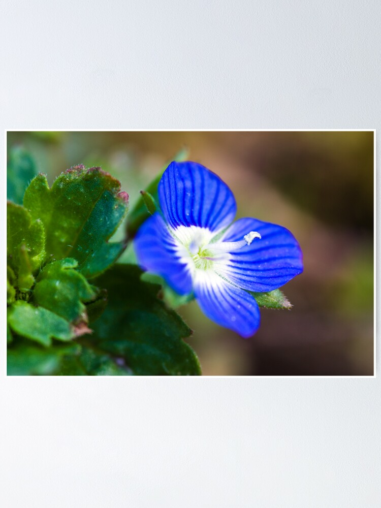 Alternate view of Common Field-speedwell (Veronica persica) Poster