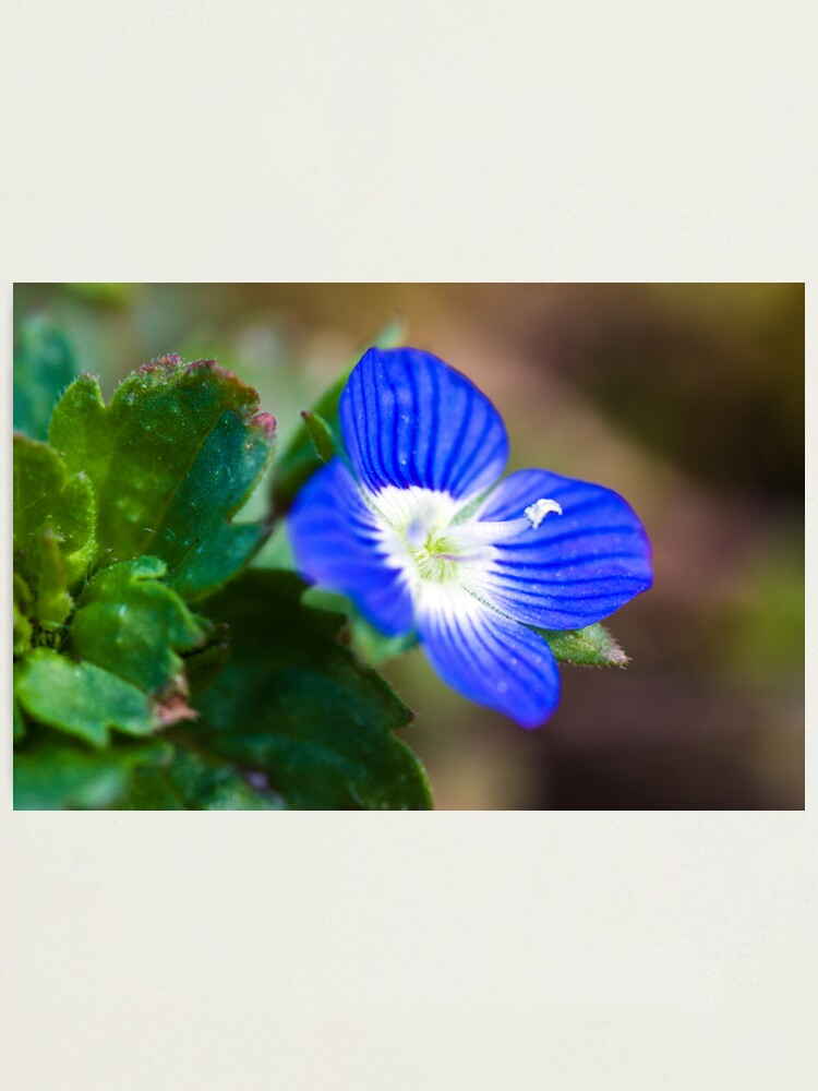 Alternate view of Common Field-speedwell (Veronica persica) Photographic Print