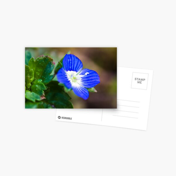 Common Field-speedwell (Veronica persica) Postcard