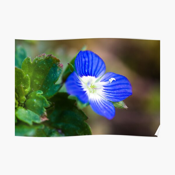 Common Field-speedwell (Veronica persica) Poster
