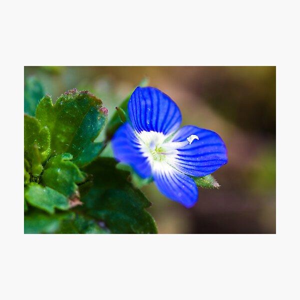 Common Field-speedwell (Veronica persica) Photographic Print