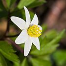 Wood Anemone (Anemone Nemorosa) by Steve Chilton
