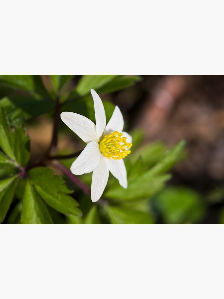 Wood Anemone (Anemone Nemorosa) by SteveChilton