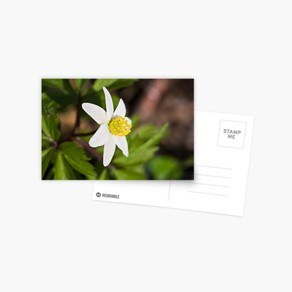 Wood Anemone (Anemone Nemorosa) Postcard