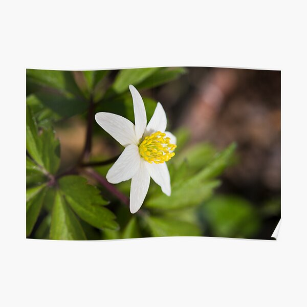 Wood Anemone (Anemone Nemorosa) Poster