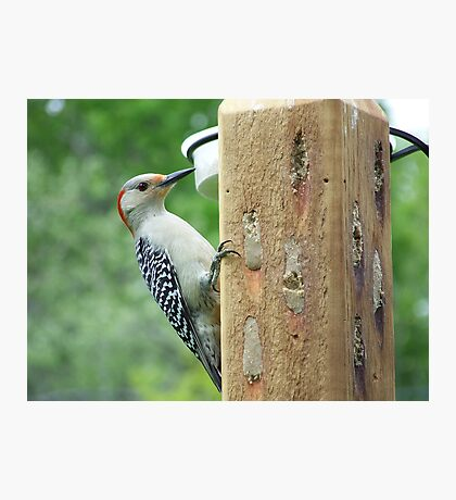 Female red-bellied woodpecker. Photographic Print