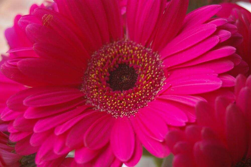 Dark pink gerbera flower by serena griffin redbubble dark pink gerbera flower by serena griffin mightylinksfo