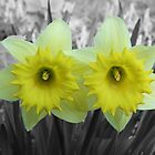 Yellow Daffodils on Black and White by Chele Willow