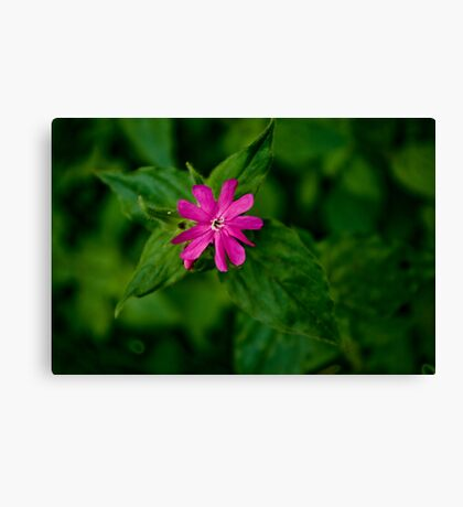 Wild Flowers - Red Campion Canvas Print