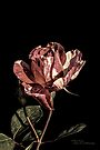 Duo Toned Rose #2 by Elaine Teague