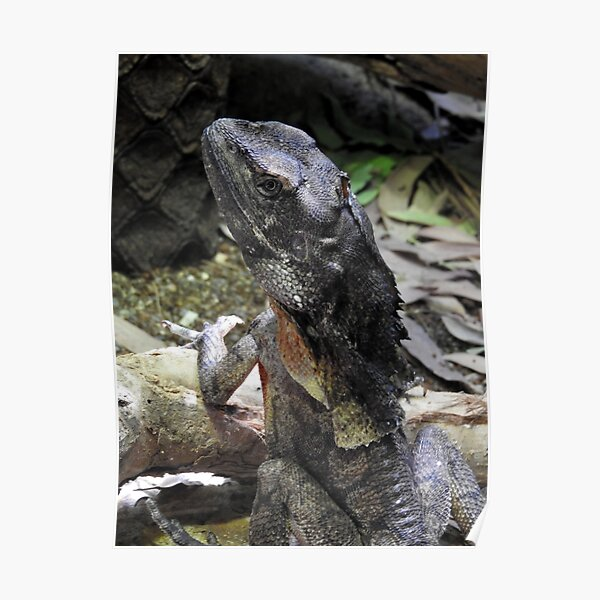 Frilled-necked Lizard Poster