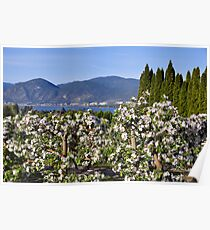 Apple Blossoms in The Okanagan Poster