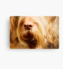 Orange and White Italian Spinone Dog Nose Metal Print