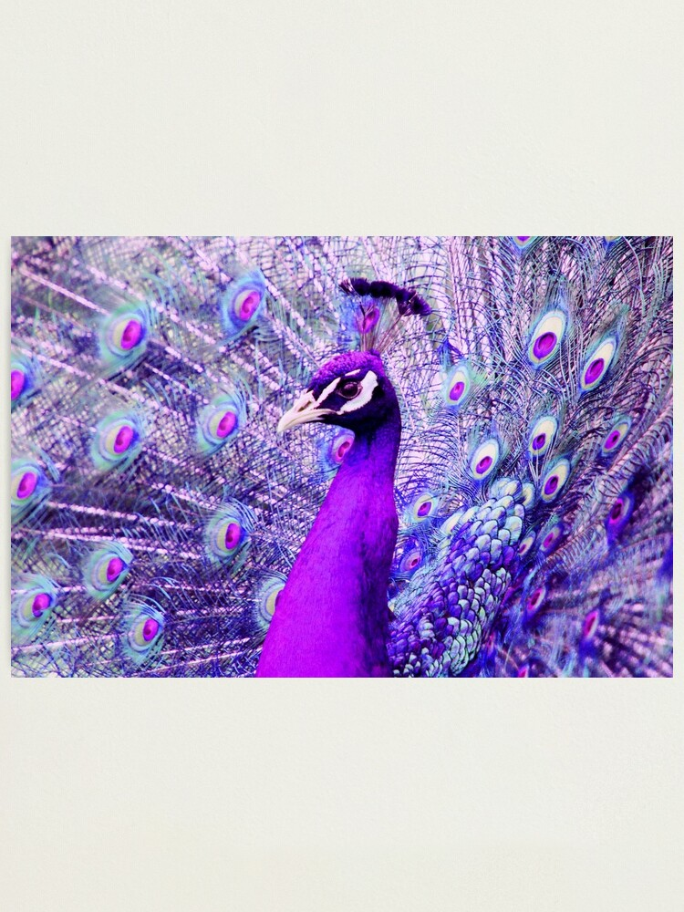 Alternate view of Purple Peacock Photographic Print