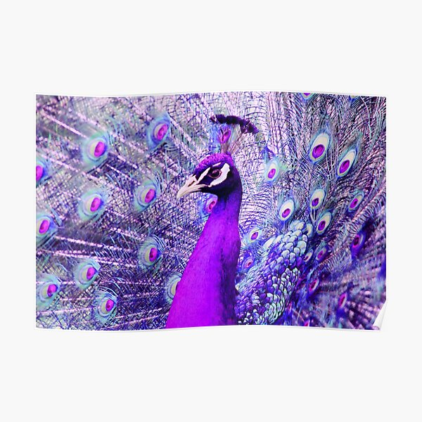 Purple Peacock Poster
