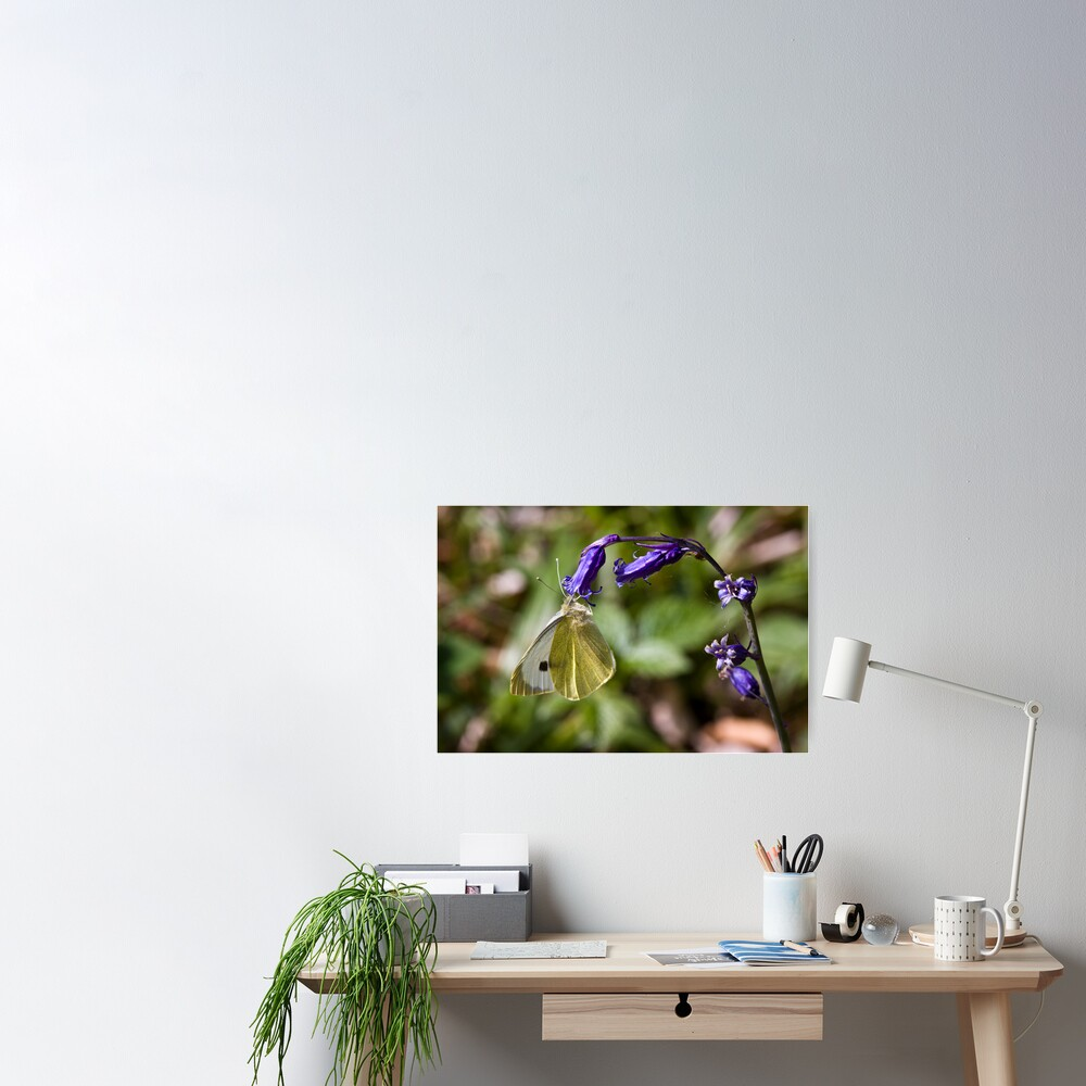 Large White Butterfly (Pieris brassicae) on Bluebell Poster