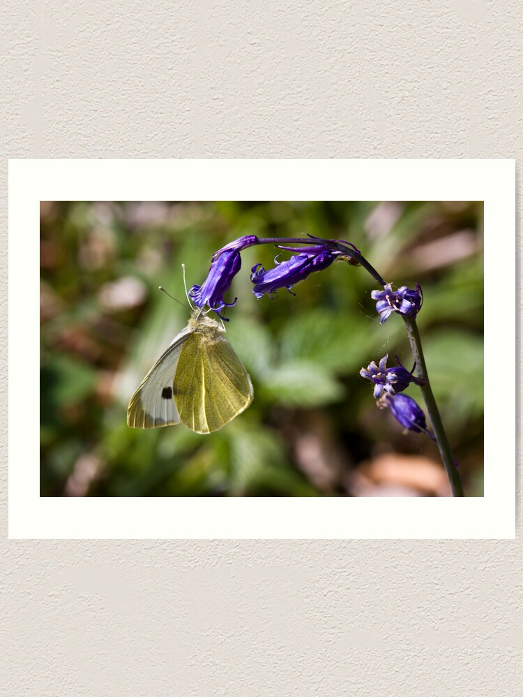 Alternate view of Large White Butterfly (Pieris brassicae) on Bluebell Art Print