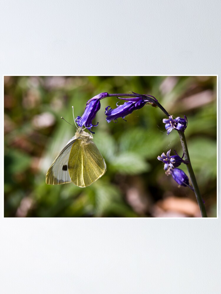 Alternate view of Large White Butterfly (Pieris brassicae) on Bluebell Poster