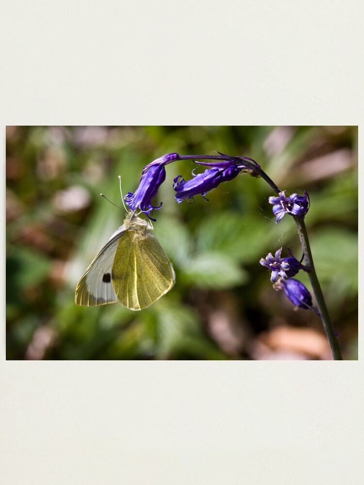 Alternate view of Large White Butterfly (Pieris brassicae) on Bluebell Photographic Print