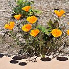 California Poppies by Len Bomba
