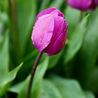 Purple tulip 'standing out' in the rain by imaginethis