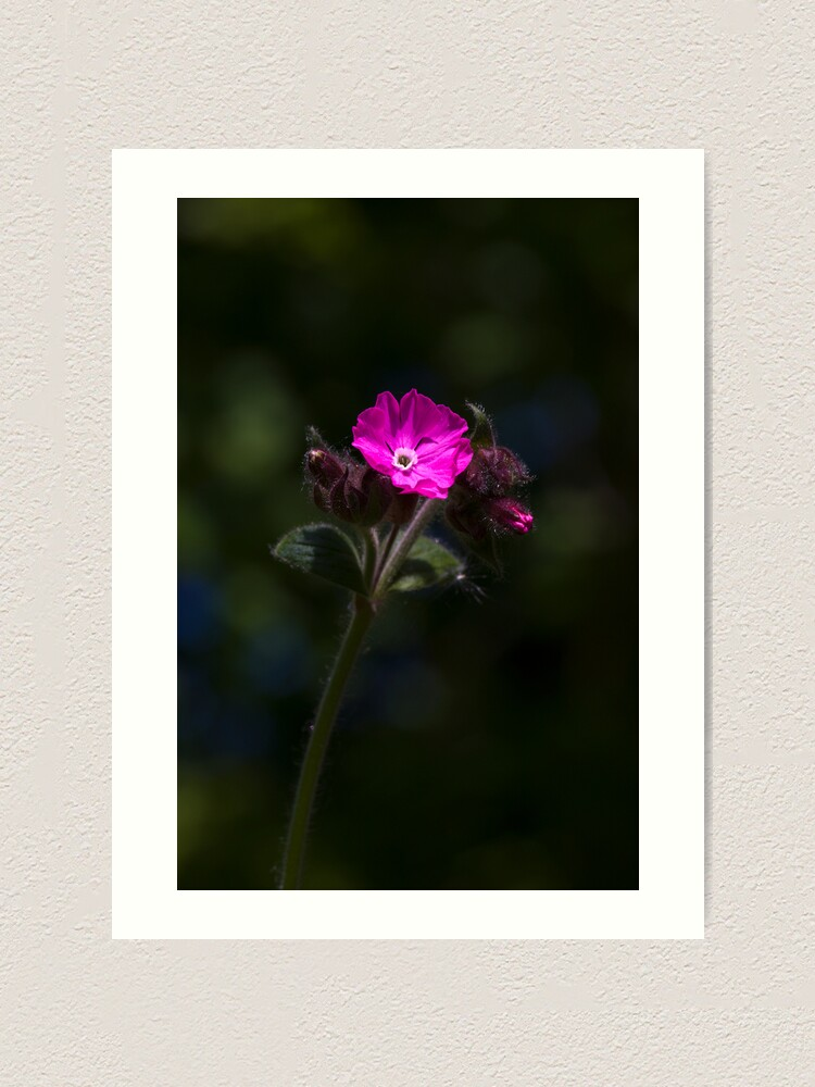 Alternate view of Red Campion (Silene dioica) Art Print