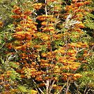In all it's glory ... Grevillea robusta by Trish Meyer
