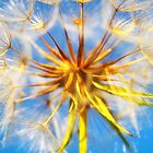 Giant Dandelion by heidiannemorris