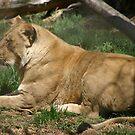 Lion by Sean Jansen
