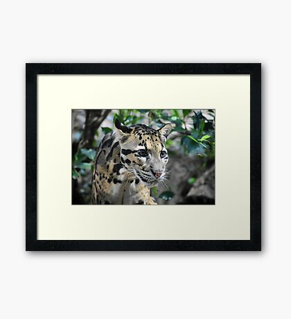 Clouded Leopard Cub Framed Print