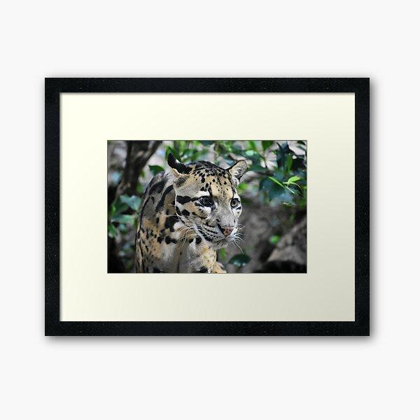 Clouded Leopard Cub Framed Art Print