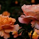 orange and pink roses by supergold