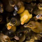 Odd Duck In by Rene Edde
