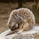 When life gets too much - sleepy meerkat by Chris Warham