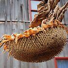 Dried Sunflower Head. by Billlee