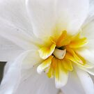 White Daffodil by Rebecca Kingston