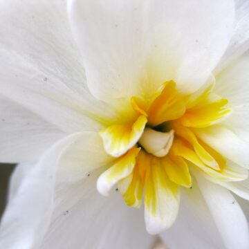 White Daffodil by drama19