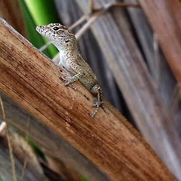 Brown Anole by lrspann1