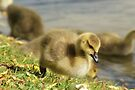 Young Canadian Gosling 2 by davesphotographics