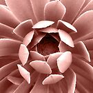 Blush Pink Succulent Plant, Cactus Close Up by PrintsProject