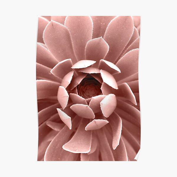 Blush Pink Succulent Plant, Cactus Close Up Poster