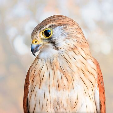 Harriet the Nankeen Kestrel 2, Native Animal Rescue by MADCAT