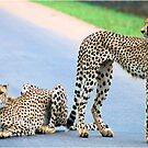 THE CHEETAH PAIR - Endangered species by Magriet Meintjes