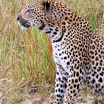 PERFECT CREATION - THE LEOPARD - Panthera pardus by mags