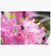 Spring Rhododendrons: Dulwich Park London Poster